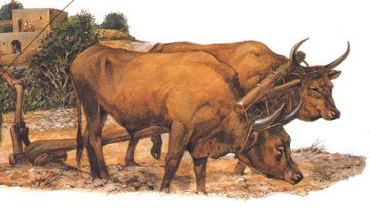 Yoked oxen resized