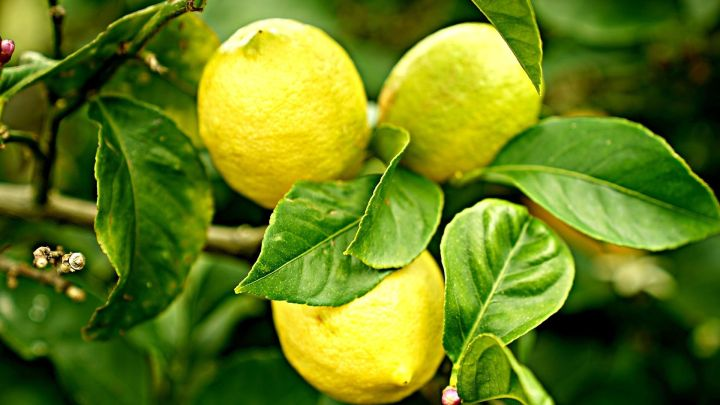 Lemon tree resized